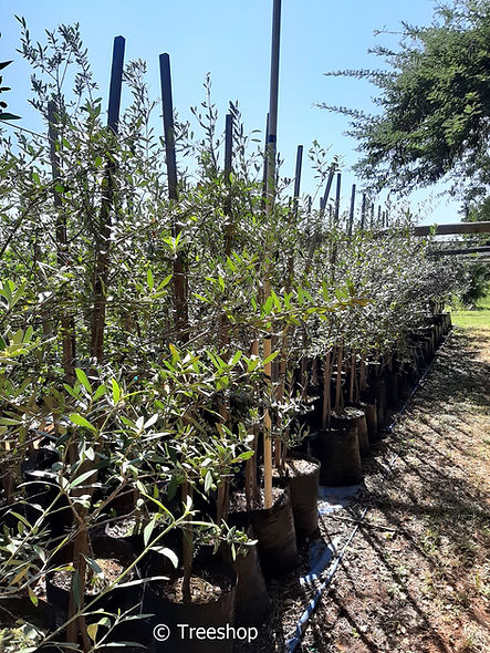 Wild olive for sale | Olienhout | Olea europaea ssp africana.jpg