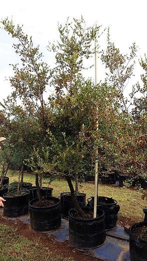 Rooibos in 100L te koop | Combretum apiculatum