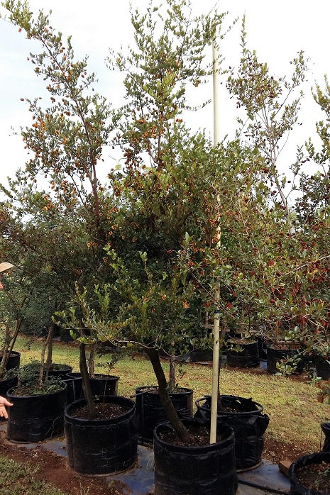 Combretum apiculatum  | Rooiboswilg | Red Bushwillow for sale