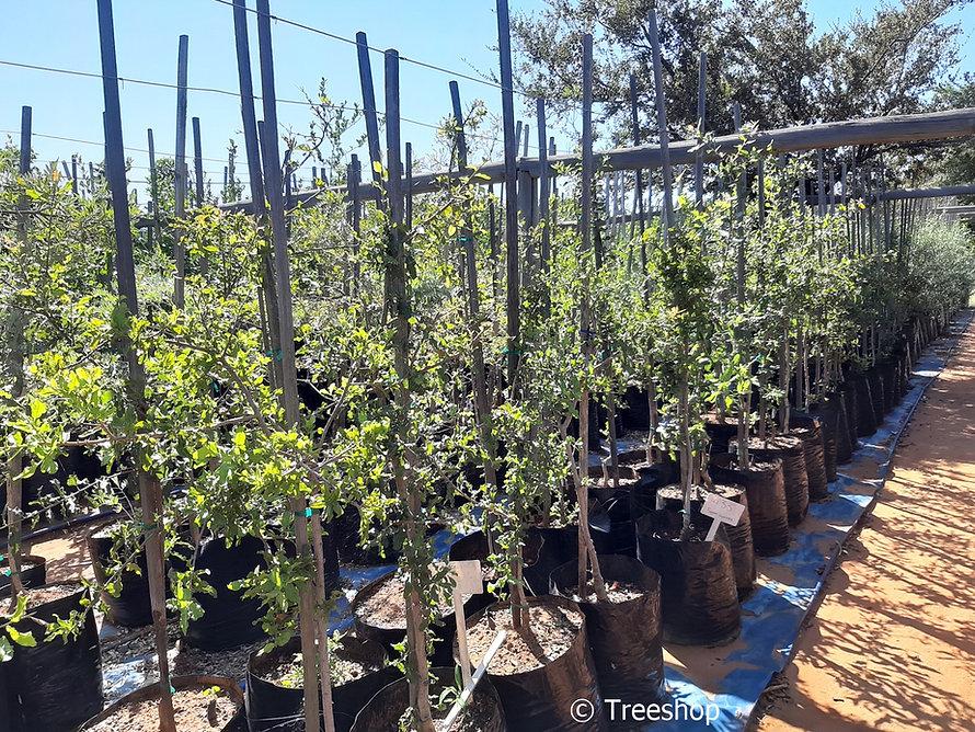Jacket-plum trees for sale | Doppruim | Pappea capensis.jpg