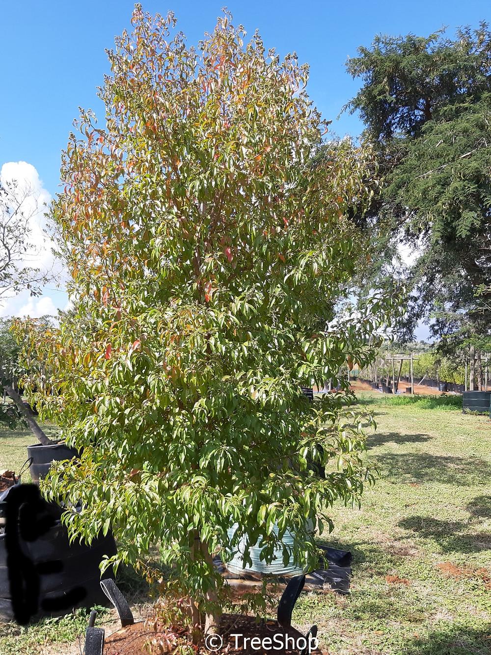 Lavender-tree | Laventelboom | Heteropyxis natalensis