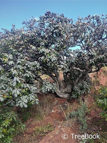 Englerophytum magalismontanum   Transvaal milkplum   Stamvrug   edible fruit