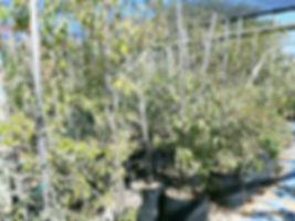 Lavender croton for sale | Laventelkoorsbessie | Croton gratissimus.jpg