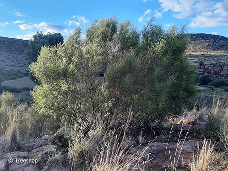 Searsia erosa, Welvanpas Farm.jpg
