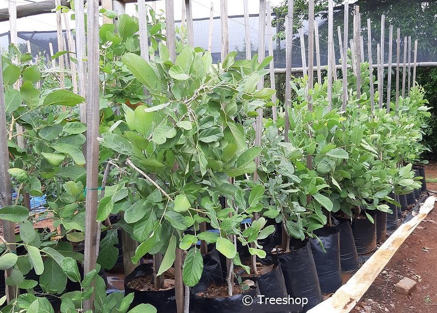 Apple-leaf tree for sale | Appelblaar | Philenoptera violaceae