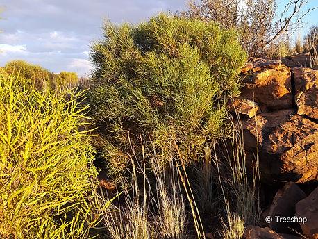 Searsia erosa2 Welvanpas Farm.jpg