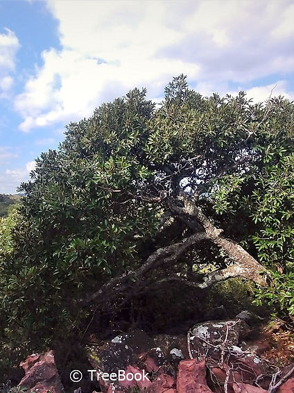 Mimusops zeyheri | Transvaal milkplum | Moepel | Attracts fruit eating birds