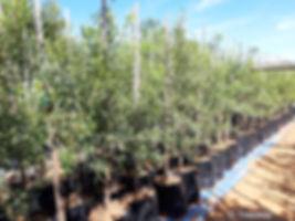 Karee trees for sale | Swart karee,  Rooi karee | Serecia lancea.jpg