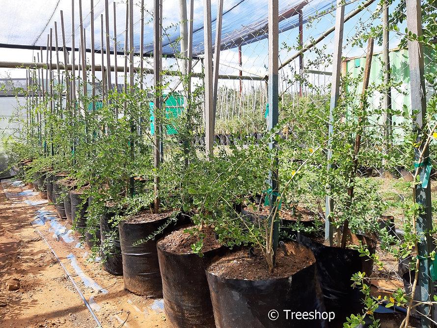 Violet-tree for sale | Krinkhout boom | Securidaca longepedunculata