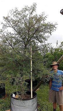 Groot Knoppiesdoring te koop. Acacia nigrescense in 450L