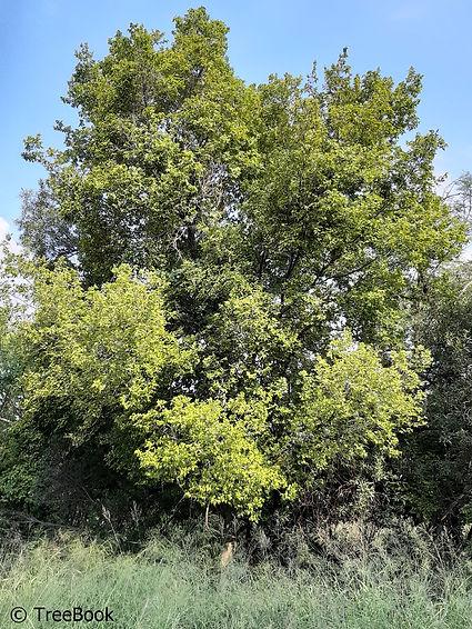 Celtis africana | White stinkwood | Very hardy summer shade tree