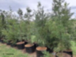 Outeniqua geelhout te koop    Small-leaved yellowwood   Afrocarpus falcatus 100L.jpg