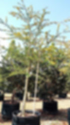 Large Fever tree for sale | Vachellia xanthophloea in 450L for sale
