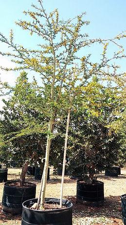 Groot Koorsboom te koop. Acacia (Vachellia) xanthophloea in 450L