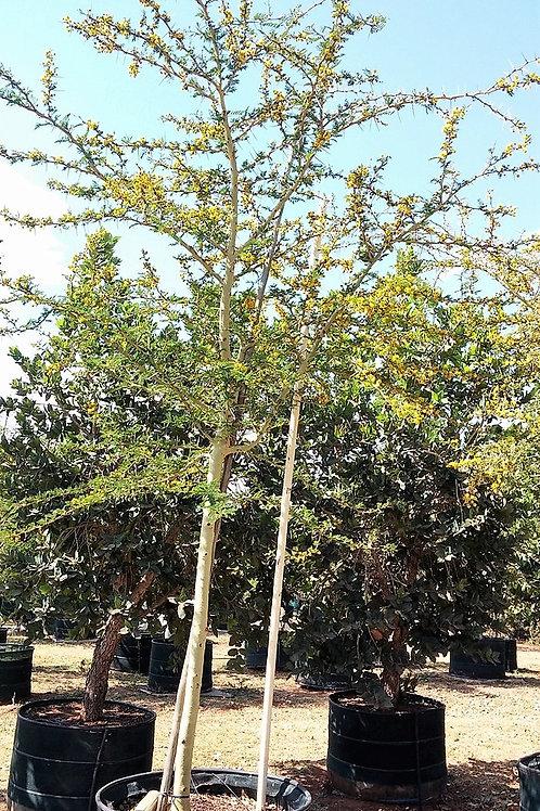 Acacia/Vachellia xanthophloea | Koorsboom | Fever Tree in 450L for sale