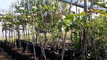 Mopanie te koop | Colophospermum mopane in 50L