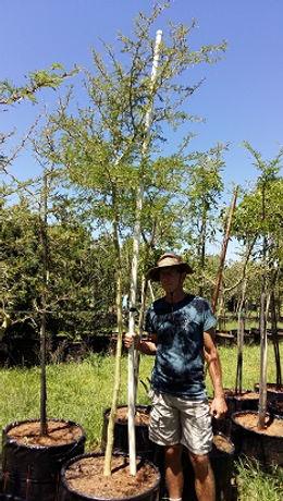 Koorsboom te koop. Acacia (Vachellia) xanthophloea in 100L