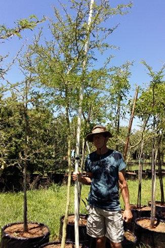Acacia xanthophloea | Koorsboom | Fever Tree in 100L for sale