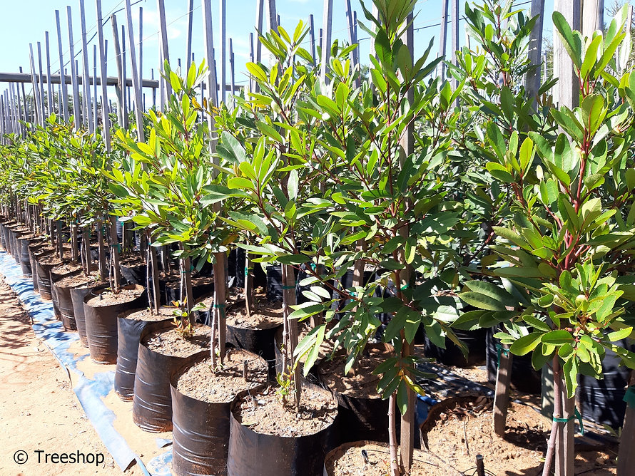 Red-alder for sale | Rooiels boom | Cunonia capenses.jpg