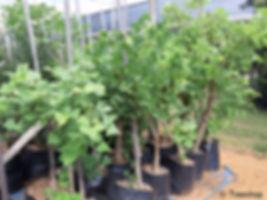 Coast coral-tree for sale | Kuskoraalboom | Erythrina caffra.jpg