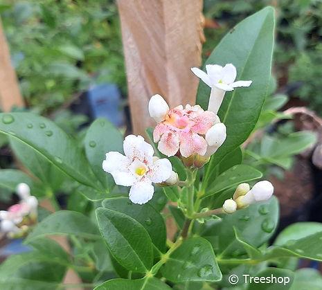 Wild jasmine flowers | Wildejasmyn | Schrebera alata flowers C.jpg