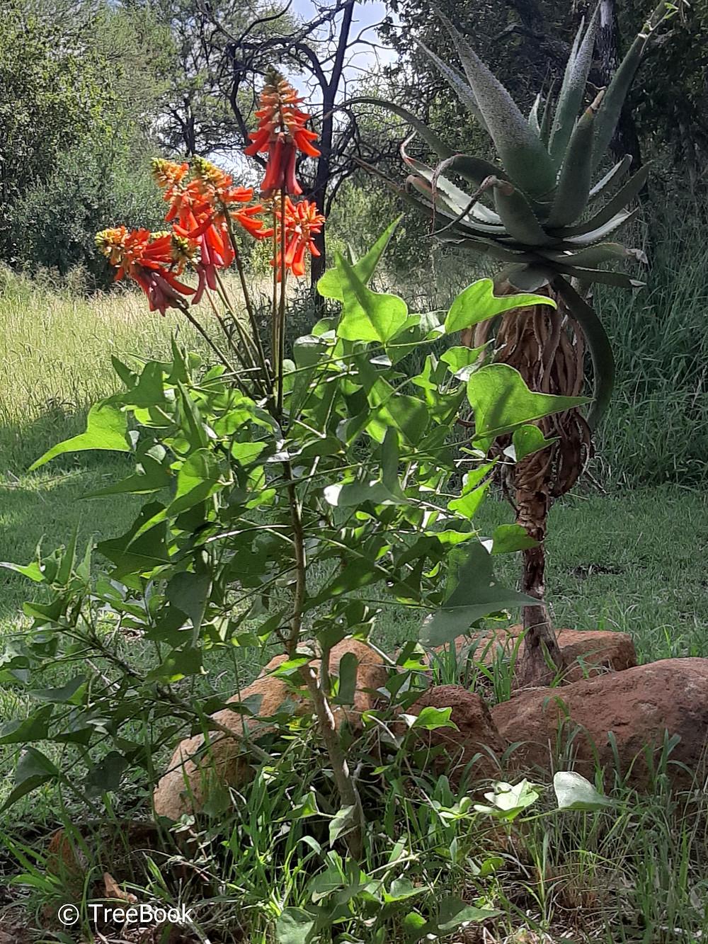 Dwarf coral-tree | Kleinkoraalboom | Erythrina humeana