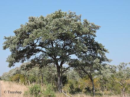 Terminalia sericea (Silver cluster-leaf) Exceptionally karge specimen. Picture taken in the Kruger National Park