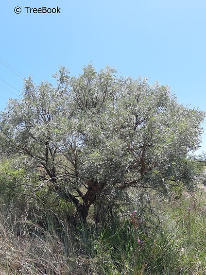 Mundulea sericea   Cork bush   Suitable for a very small garden
