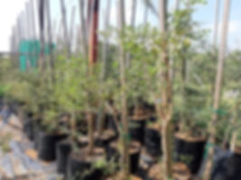 Knob thorn for sale | Knoppiesdoring | Senegalia nigrescens.jpg