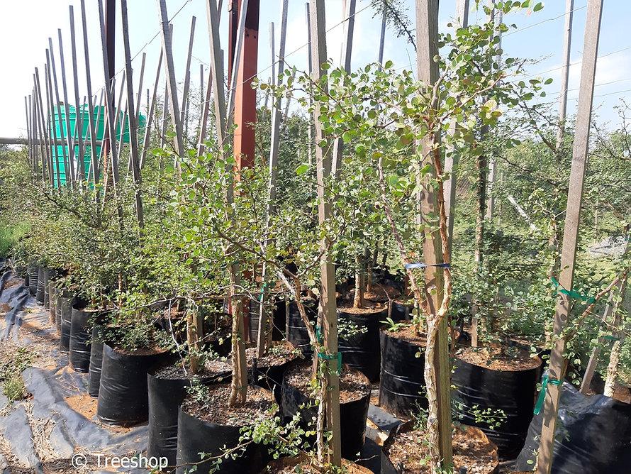 Knob thorn for sale   Knoppiesdoring   Senegalia nigrescens.jpg