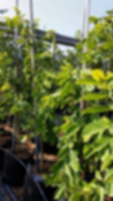 Tassel berry in 50L for sale | Antidesma vinosum