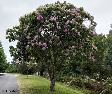 Calodendrum capense used as a street tree in George, South Africa