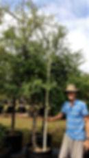Black monkey thorn in 100L for sale | Senegalia burkei for sale