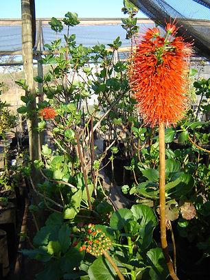 Natalse baakhout in 50L te koop | Greyia sutherlandii