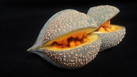 Toad-tree fruit | Paddaboom vrugte | Tabernaemontana elegans.jpg