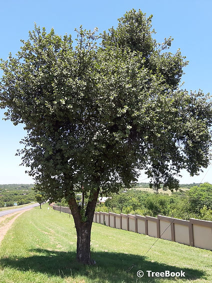 Dombeya rotundifolia | Wild pear | hardy deciduous tree