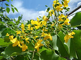 Flowering tree, deciduous, frost sensitive