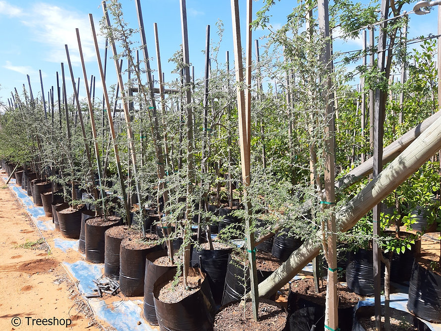 Ana-tree for sale | Anaboom | Faidherbia albida.jpg