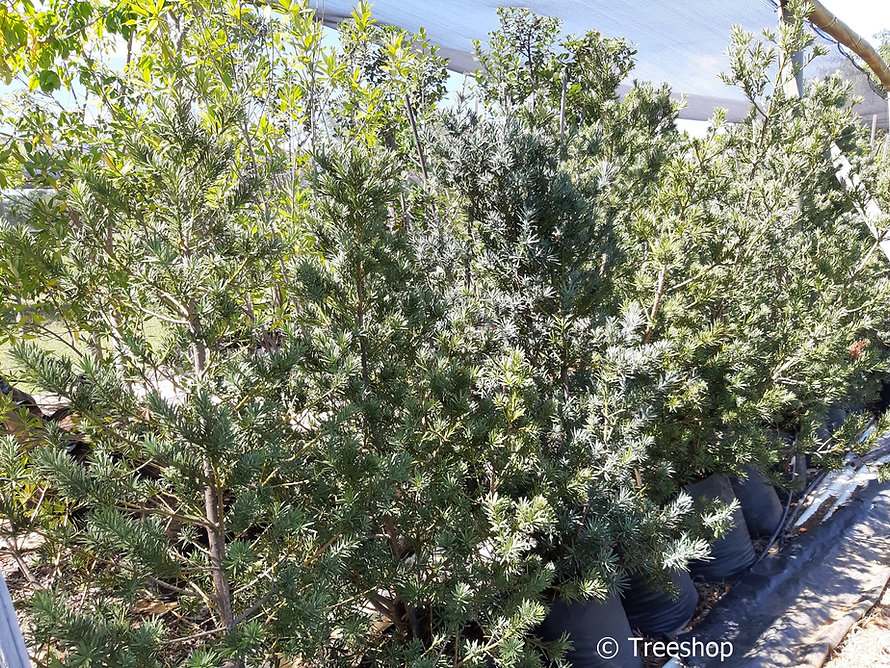 Breede river yellowwood for sale | Breederivier-geelhout | Podocarpus elongatus.jpg