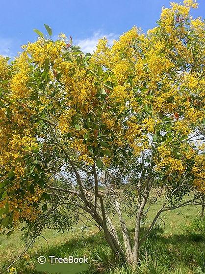 Dopperkiaat boom   Pterocarpus rotundifolius