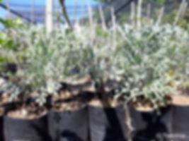 Mountain cabbage tree for sale   Bergkiepersol   Cussonia paniculata sinuata.jpg