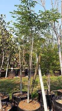 Luiperdboom in 100L te koop | Caesalpinia ferra