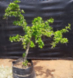 Kei-apple container tree for sale