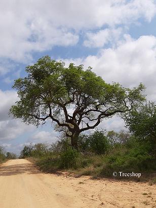 Mature tree size: Sclerocarya birrea, Marula tree, Maroela boom