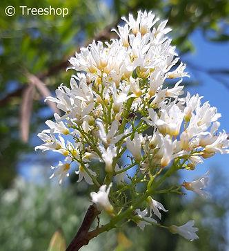 loxostylis alata (Teerhout) blomme