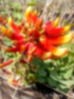 Erythrina acanthocarpa C.jpg