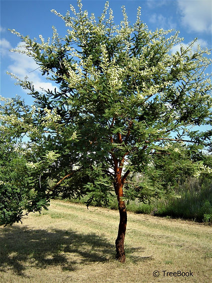 Vachellia rehmanniana   Silky thorn   Soft silky leaves and  attractive red-brown branches