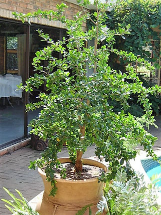 Kei-apple container tree in large pot