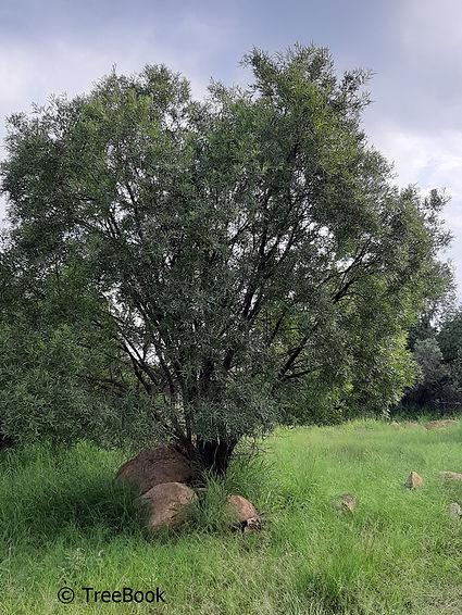 Searsia lancea | Karee | Rooikaree | The species tolerates severe frost
