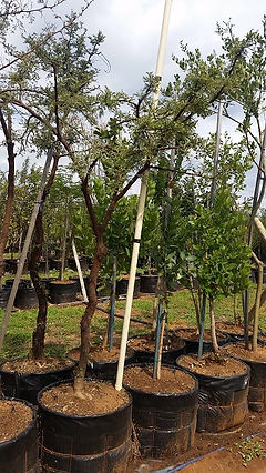 Soetdoringboom te koop. Acacia karroo in 100L